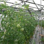 大玉トマト、尻腐れも少ない
