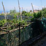 狭い遊歩道はレモン畑とオリーブ畑の中を登る