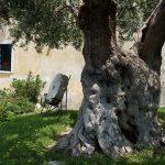 絵になるオリーブの老木