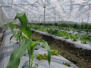 トウモロコシ等も鳥獣を気にせず栽培可能に