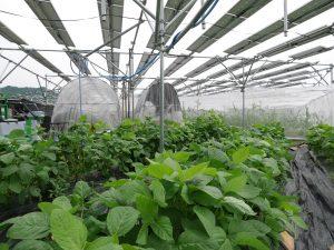 枝豆に挑戦、化学肥料無しでも葉の緑が鮮やかで元気
