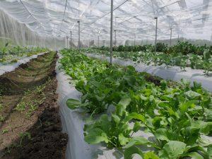 ルッコラは種を撒いたらあっという間に収穫できる
