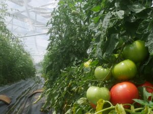 大玉トマトを露地で最後まで収穫し尽くすのは容易でない