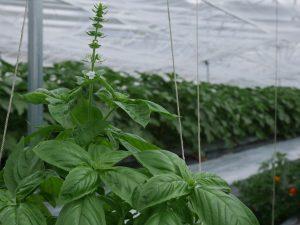 バジルは栽培でも料理でもトマトのコンパニオン